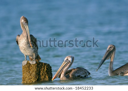 pelicans in florida gulf waters