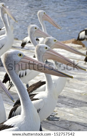 Pelicans lined up to feed, Kangaroo Island, South Australia - stock photo