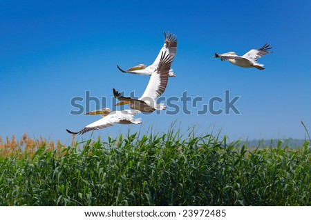 pelicans (pelecanus onocrotalus) flying over the lake