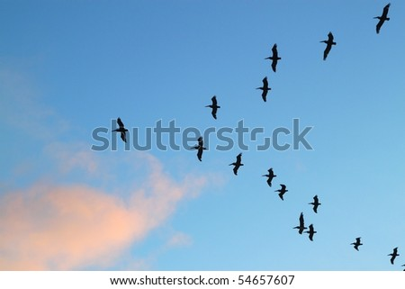 pelicans returning at night to their home over the ocean - stock photo