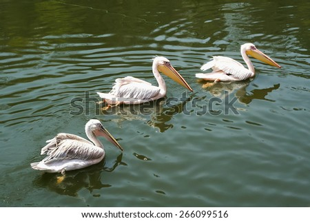 Pelicans swimming in the water - stock photo
