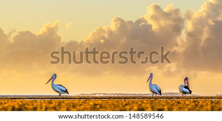 Pelicans with clouds - stock photo