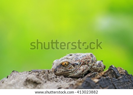 Pelobates fuscus hid among the clods,amphibians, miracles disguise - stock photo