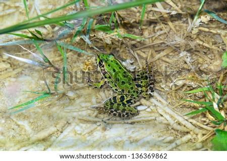 Pelophylax esculentus, Edible Frog, Rana Comune, Italy - stock photo