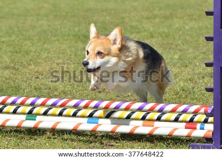 Pembroke Welch Corgi Leaping Over a Jump at a Dog Agility Trial - stock photo