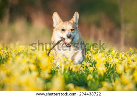 Pembroke welsh corgi dog playing with a ball