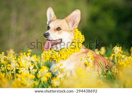 Pembroke welsh corgi dog with a wreath of flowers on its neck