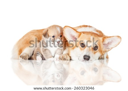 Pembroke welsh corgi mother with a puppy