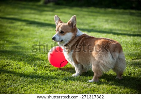 Pembroke Welsh Corgi playing with a red balloon facing away from the camera - stock photo