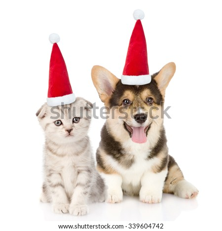 Pembroke Welsh Corgi puppy and kitten in red christmas hats sitting in front view together. isolated on white background