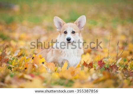 Pembroke welsh corgi puppy in autumn