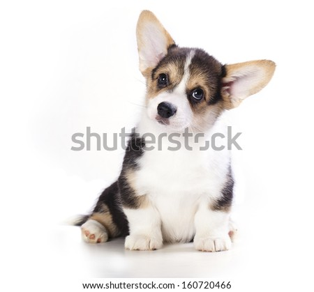 Pembroke Welsh Corgi puppy. isolated on white background