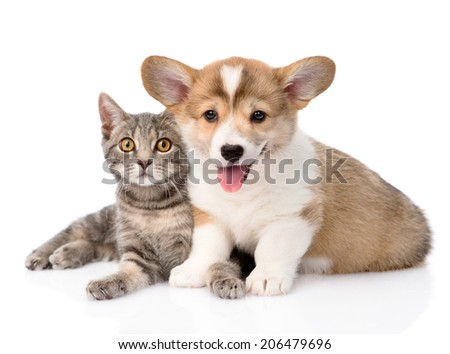 Pembroke Welsh Corgi puppy lying with cat together and looking at camera. isolated on white background