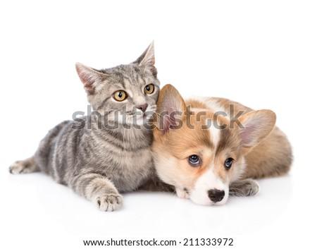 Pembroke Welsh Corgi puppy lying with cat together. isolated on white background - stock photo