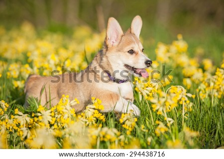Pembroke welsh corgi puppy running on the field with flowers