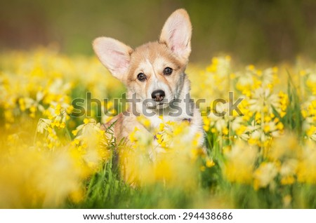 Pembroke welsh corgi puppy sitting in flowers