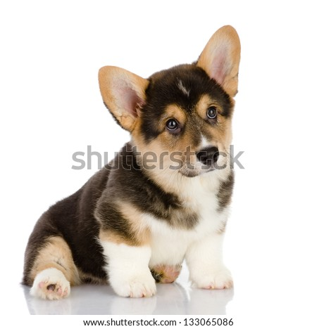 Pembroke Welsh Corgi puppy sitting. looking at camera. isolated on white background
