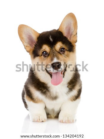 Pembroke Welsh Corgi puppy sitting. looking at camera. isolated on white background - stock photo