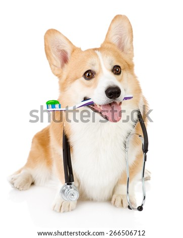 Pembroke Welsh Corgi puppy with a toothbrush and stethoscope on his neck. isolated on white background