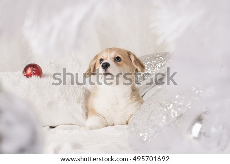 Pembroke welsh corgi puppy with christmas decorations