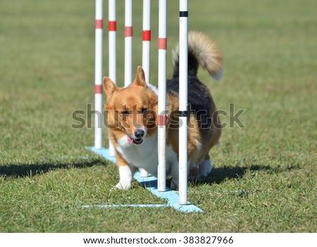 Pembroke Welsh Corgi Weaving Through Poles at Dog Agility Trial - stock photo