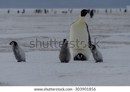 penguin chicks and parent - stock photo