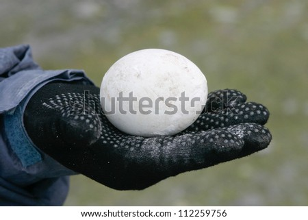 Penguin egg in hand with glove - stock photo