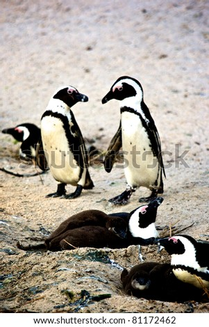 Penguin in South Africa - stock photo