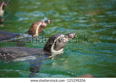 penguin manchot - stock photo