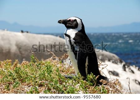 penguin near Simon's Town,South Africa - stock photo