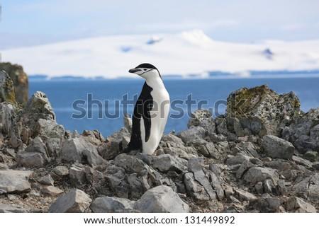 Penguin on the rock in Antarctica - stock photo