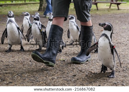 Penguin walk - Zoo keeper walking Humboldt's Penguins in the morning - stock photo