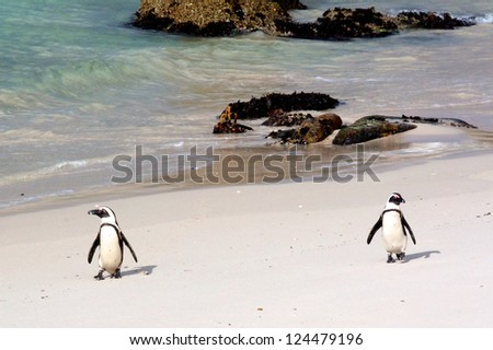 Penguins, Boulders Beach, Cape town, South Africa - stock photo