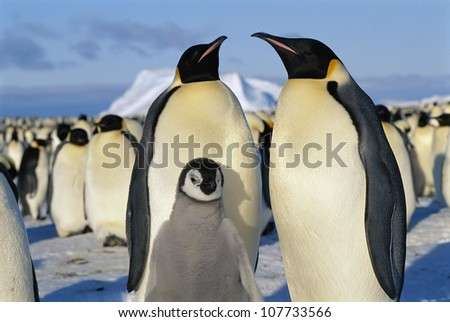 Penguins, close-up - stock photo