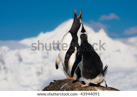 Penguins singing - stock photo