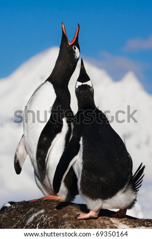 Penguins singing on a rock in Antarctica. Mountains in the background - stock photo