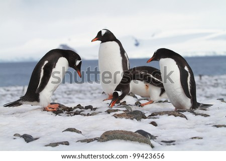 Penguins together - stock photo