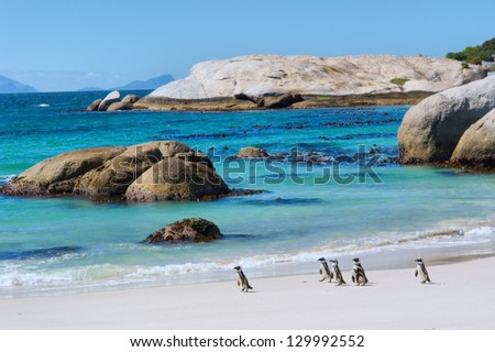 Penguins walk on sunny beach. Shot in the Boulders Beach Nature Reserve, near Cape Town, Western Cape, South Africa. - stock photo