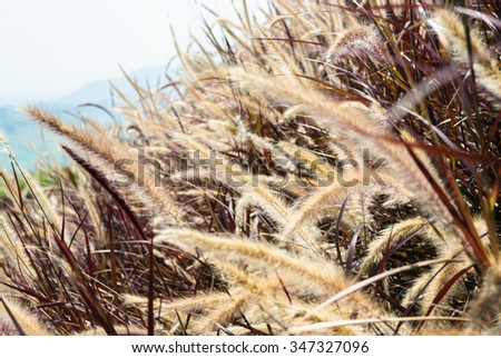 Pennisetum flower straw-color with red leaves and mountain in background