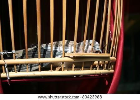 Pensive pigeon, Thailand. - stock photo