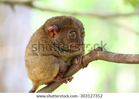 Pensive small tarsier sitting on a branch, Bohol Island - stock photo