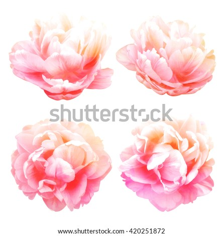 Peonies flower isolated on white background. - stock photo