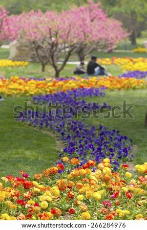 Peonies in flower garden, China  - stock photo
