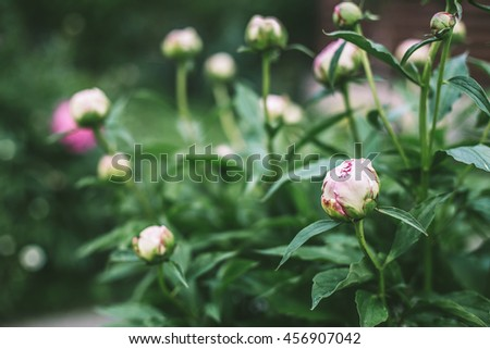 Peonies in the garden. Beautiful retro photo of flowers. Peony buds with green leaves. Vintage toned photography. Tender dusty pink