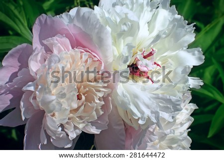 Peonies pink and white, blossoming in a spring garden - stock photo