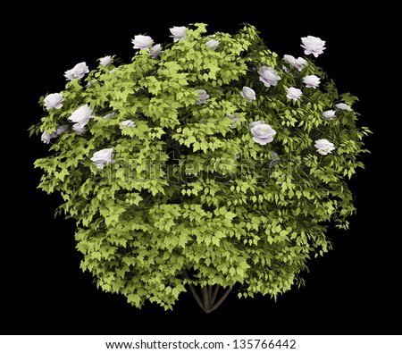 peony bush isolated on black background - stock photo