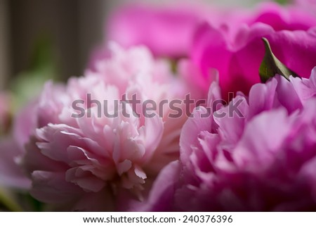Peony details, selective  focus - stock photo