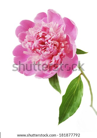 Peony flower closeup isolated on white background  - stock photo