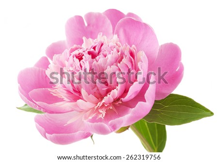 Peony flower closeup isolated on white background - stock photo