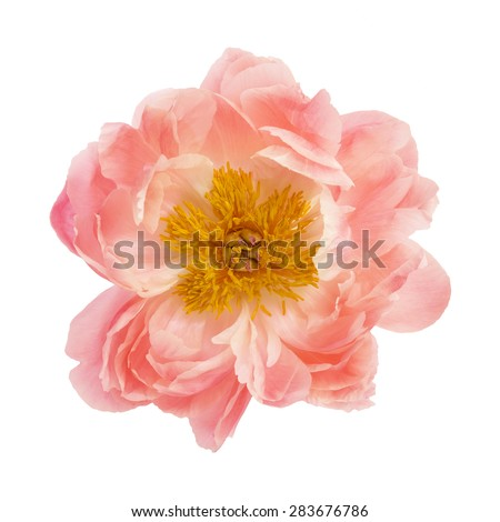 Peony flower isolated on a white background - stock photo